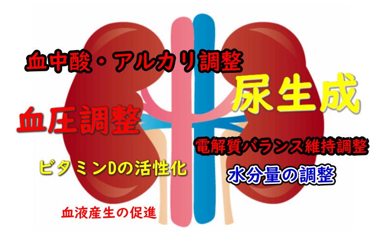 腎臓には7つの機能がある